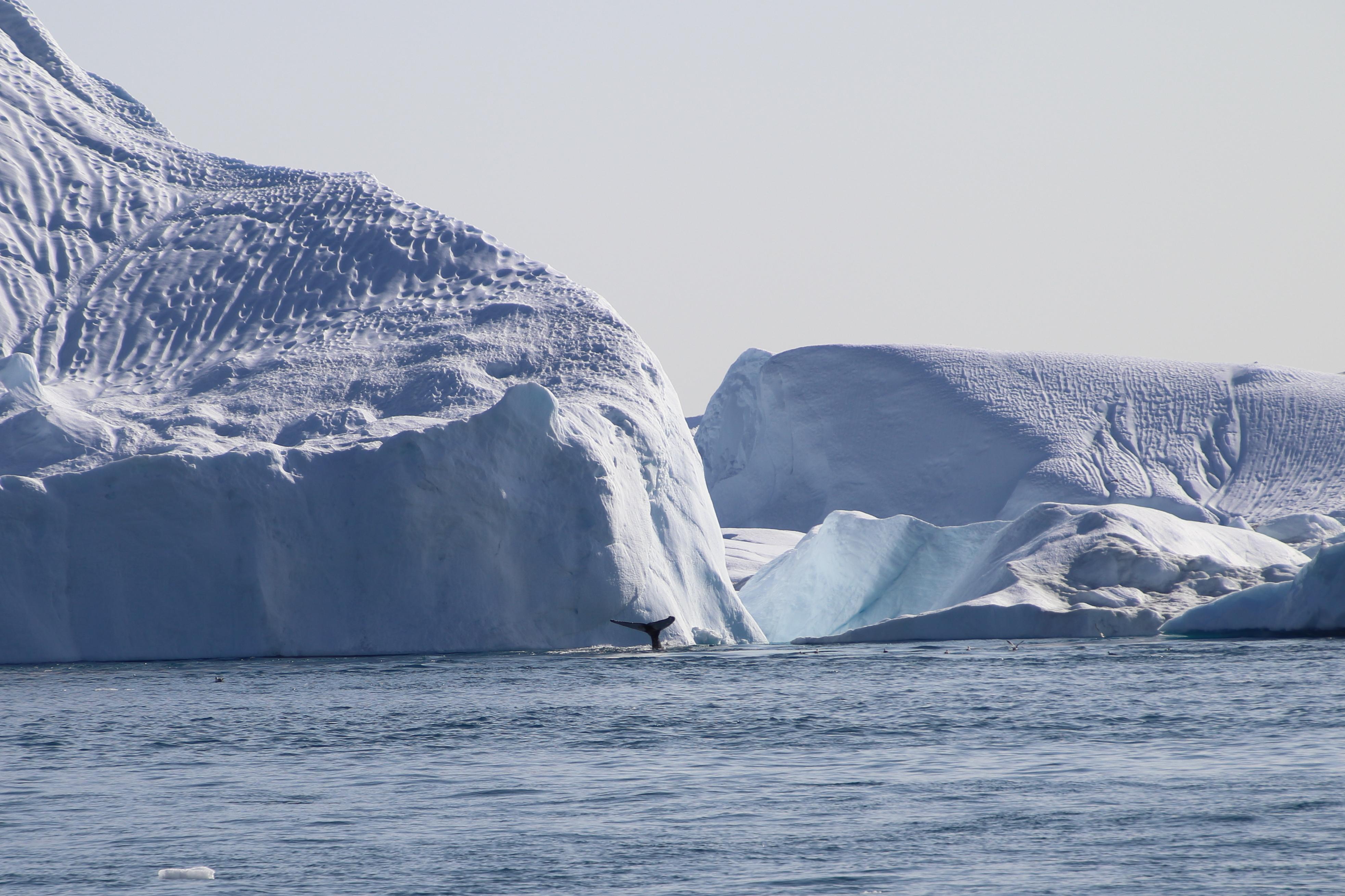 Nimi: Valaan sukellus, Kuvaaja: Jarmo Frii