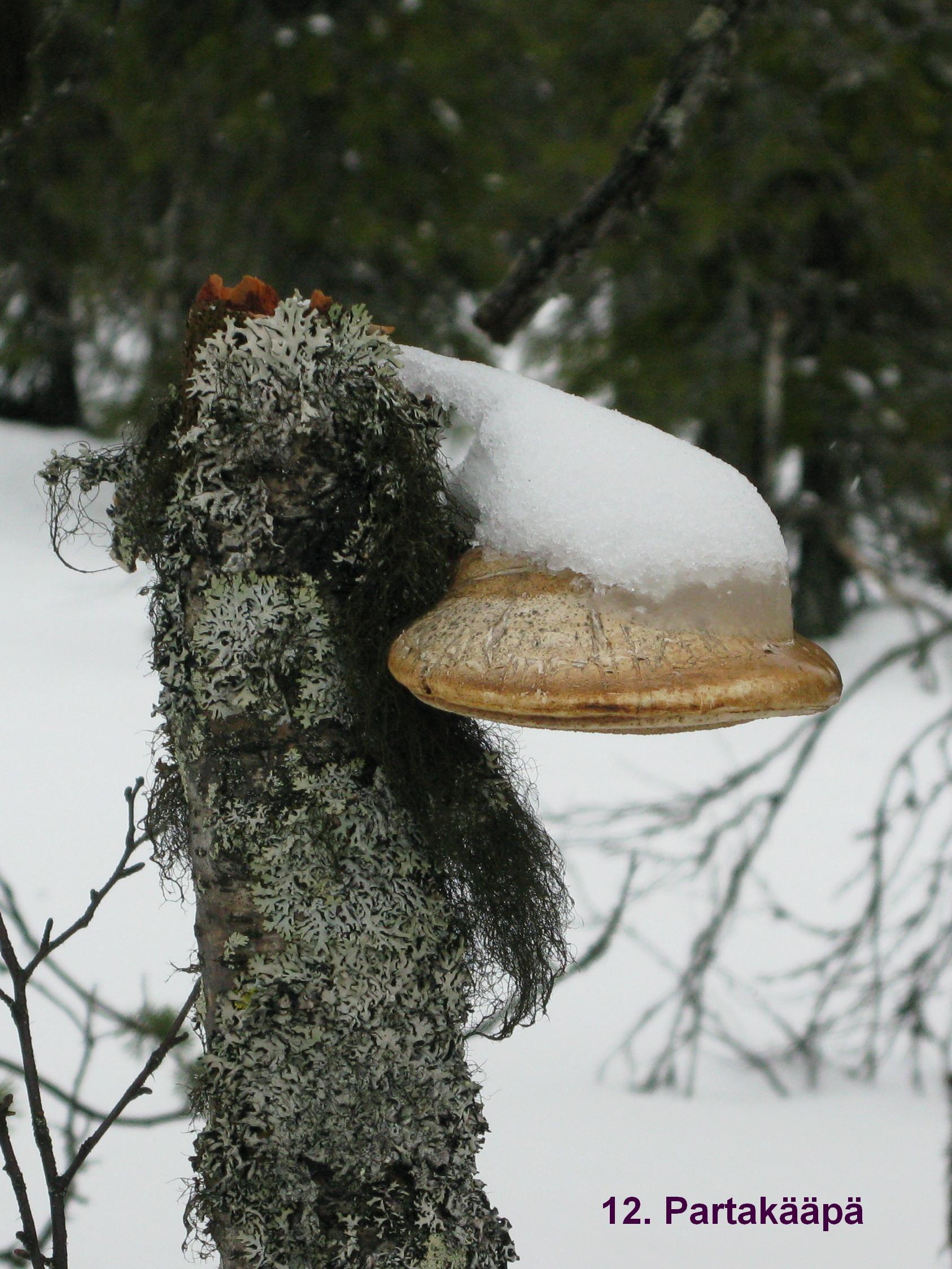 Nimi: Partakääpä, Kuvaaja: Pöytäkilpailu